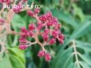 Semena Evodie (Ampák, Tetradium) - včelí strom